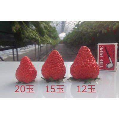 画像2: 紅ほっぺ(べにほっぺ)1トレー・3箱(12玉/15玉/20玉)